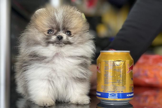 Chó teacup Phốc sóc con màu party chỉ nhình hơn lon bò húc đôi chút tại Dogily Kennel.