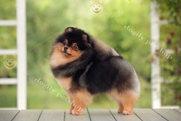hình ảnh chó pom