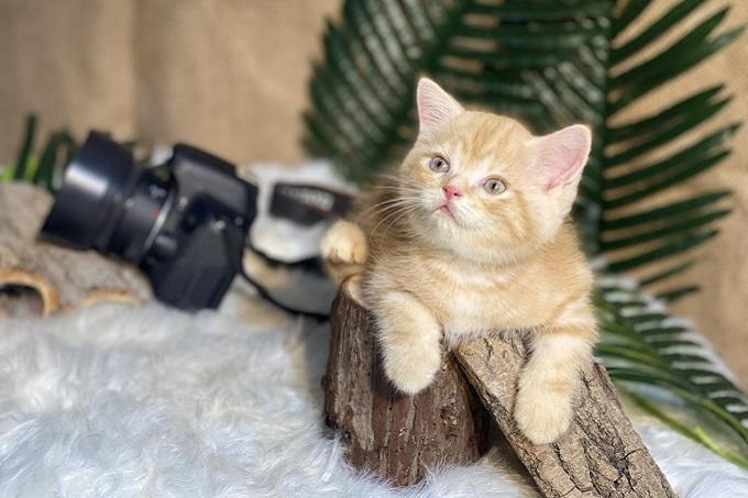 Một bé mèo Anh lông ngắn red spotted tabby sinh tại trại mèo Dogily Cattery.
