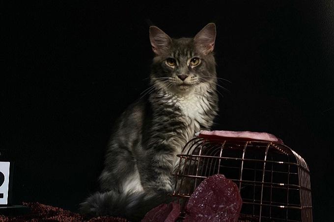 Vẻ đẹp huyền bí của một chú mèo Maine Coon Silver Tabby.