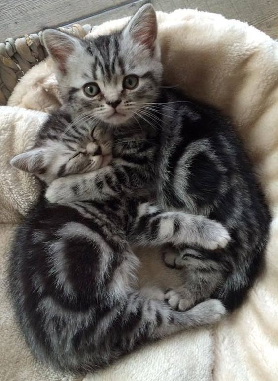 Mèo Anh lông ngắn sọc dưa
