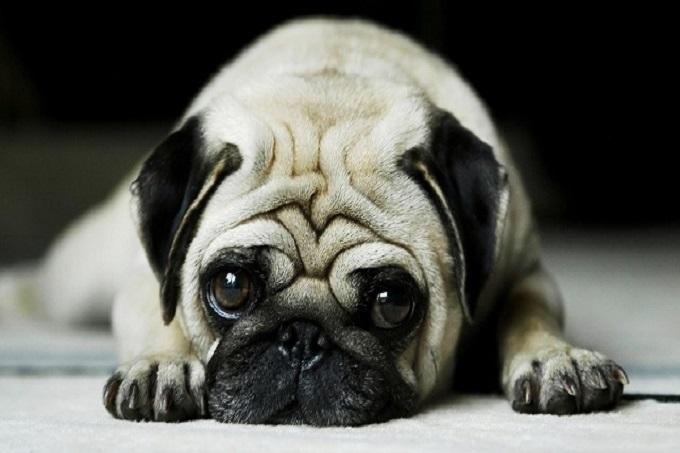 Do cấu tạo mũi ngắn, nên giống chó này thường bị các bệnh liên quan đến hô hấp khi thời tiết thay đổi đột ngột, quá lạnh hoặc nóng.