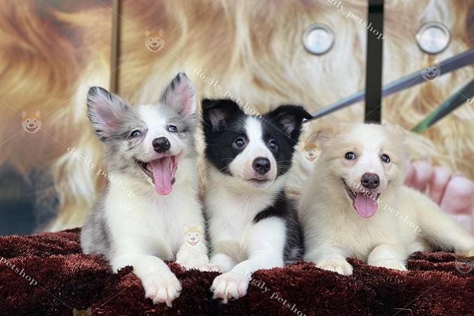 Hay chó Border Collie màu blue merle (trái) sẽ có giá cao hơn so với đen trắng, vàng trắng...