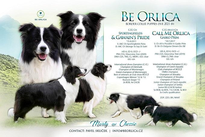 Chó Border Collie nhập châu Âu thường từ Cộng Hòa Séc....