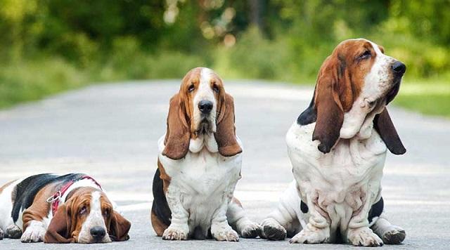 Cần có chế độ dinh dưỡng hợp lý để kiểm soát cân nặng của cún cưng.