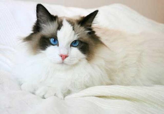 Chiêm ngưỡng hình ảnh chú mèo Ragdoll thuần chủng đẹp mắt