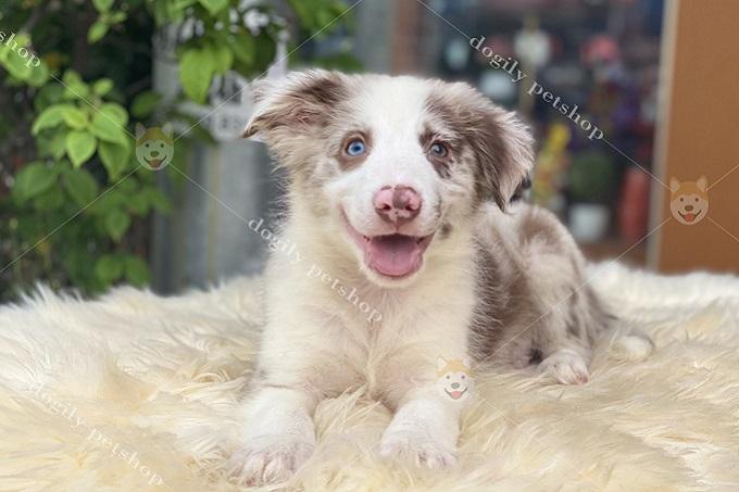 Chó Border Collie màu lilac merle 2 màu mắt 3 tháng tuổi được nhân giống tại trang trại Dogily Kennel