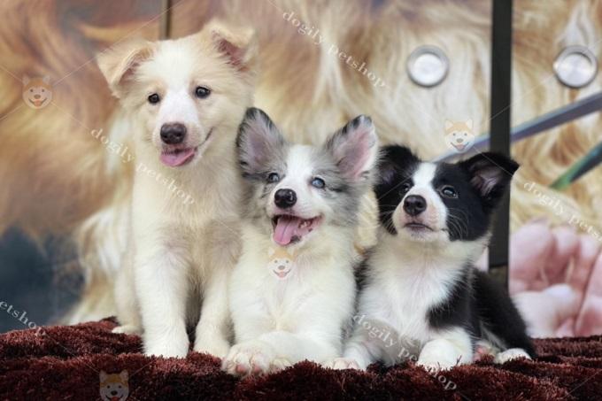 Chó Border Collie con xuất bán từ hệ thống trang trại, cửa hàng của Dogily Petshop trên toàn quốc luôn đảm bảo sức khỏe, độ thuần chủng và vẻ đẹp ngoại hình được sàng lọc qua nhiều thế hệ.
