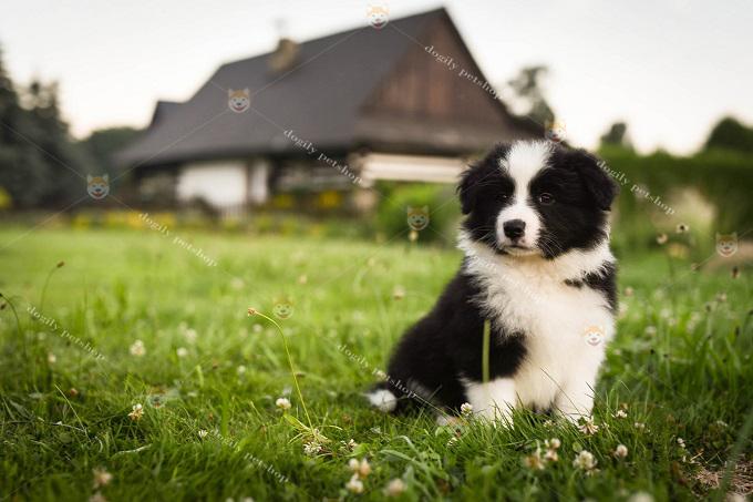Chó nhập khẩu châu Âu phải trên 4 tháng tuổi mới có thể đưa về Việt Nam. Đầy đủ giấy tờ, nguồn gốc FCI, vận đơn hàng không, sổ sức khỏe, hộ chiếu...