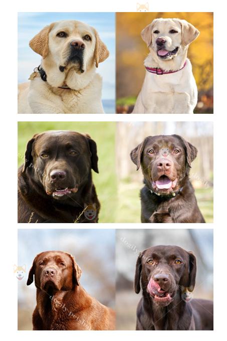 Chó Labrador Retriever Anh (trái) và Mỹ (phải), cùng một giống chó nhưng có những điểm rất khác biệt.