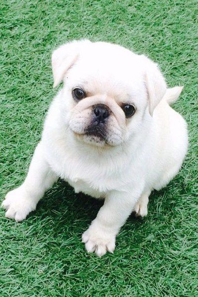 Chó Pug màu trắng dù rất đẹp và được nhiều người săn lùng. Nhưng thực tế chưa được các Hiệp hội chó giống quốc tế công nhận.