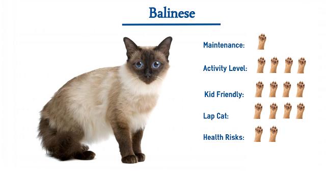 Đặc điểm ngoại hình nổi bật ở Balinese Cat