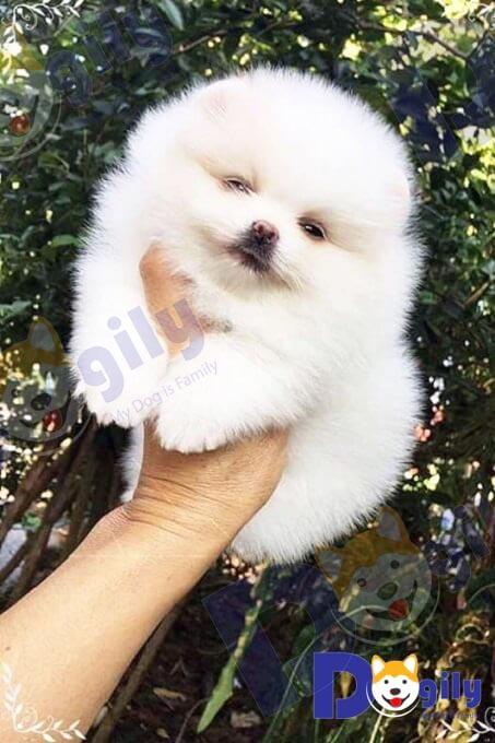 Chó Fox Sóc là một giống chó rụng lông quanh năm do bộ lông hai lớp rất dày và xù của chúng