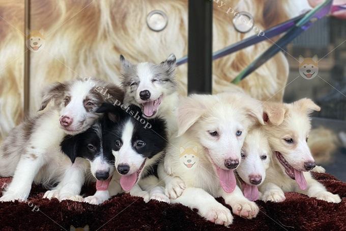 Giá chó Border Collie con cũng phụ thuộc vào màu sắc. Màu hiếm và được ưa chuộng hơn sẽ có giá cao hơn.