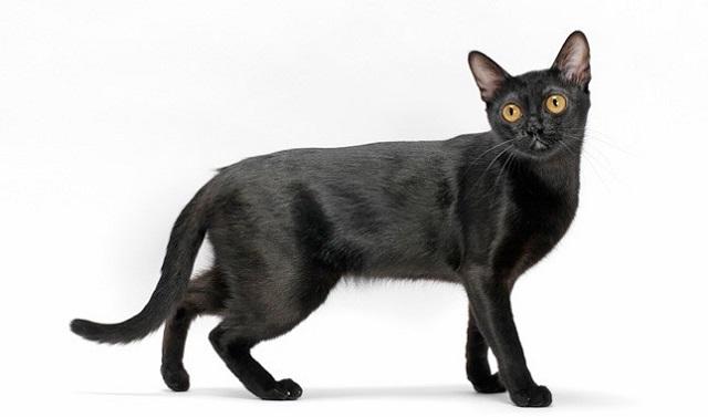 Giống mèo có thân hình cân đối