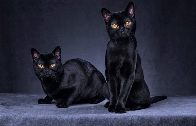 Giống mèo có tính cách hiền lành, thông minh và ngoan ngoãn