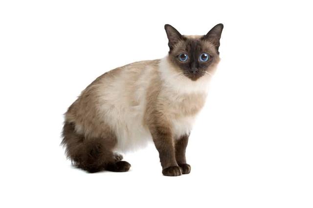 Giống mèo có tuổi thọ hơn 15 năm khi được chăm sóc tốt