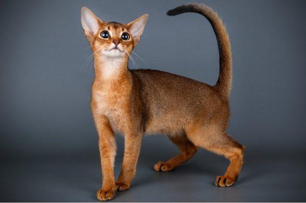 Mèo Abyssinian