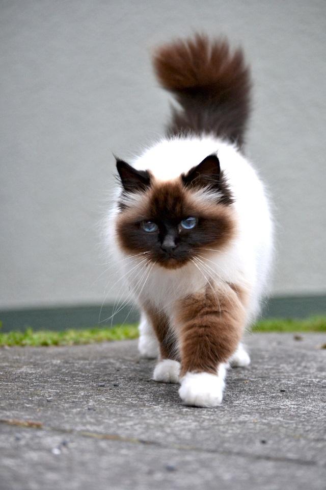 Giống mèo khó thích nghi trong môi trường lạnh, khí hậu khắc nghiệt