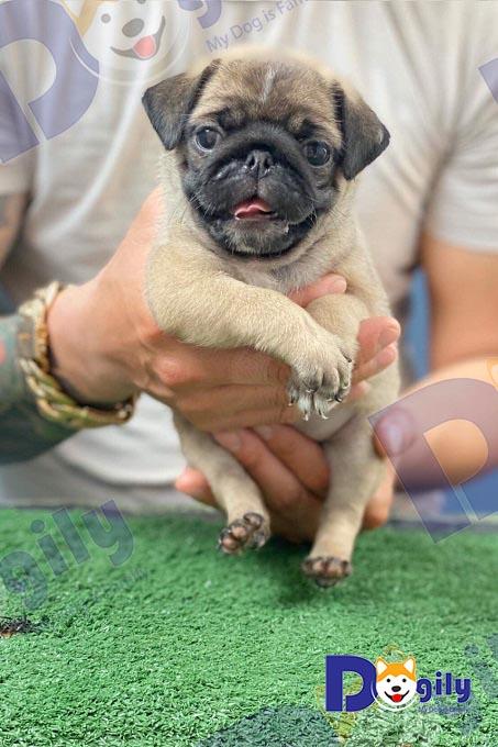 Chó Pug có kích thước khá nhỏ nhắn, xinh xắn.