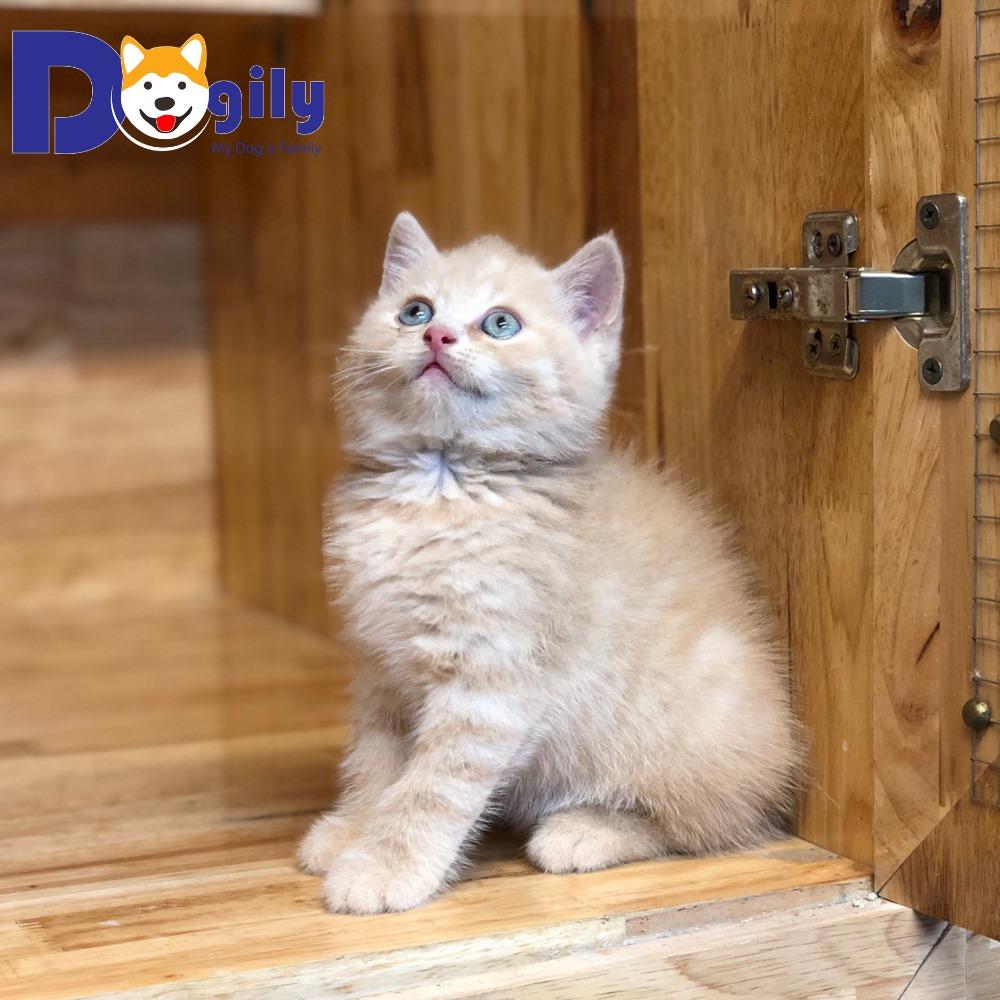 Quá trình trưởng thành của một chú mèo Anh lông ngắn ra sa