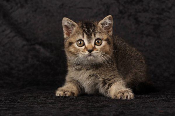 Mèo Anh lông ngắn lai ta