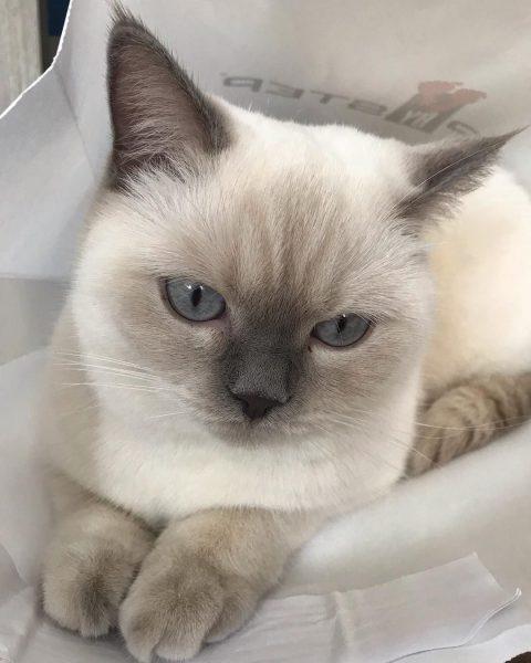 Mèo Anh lông ngắn màu hyma