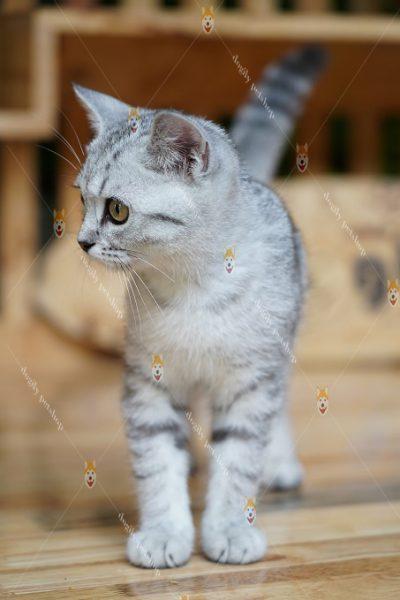 mèo aln màu silver tabby