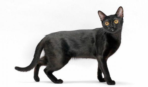 Mèo Bombay