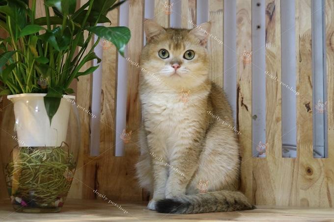Ảnh mèo Aln golden ny25