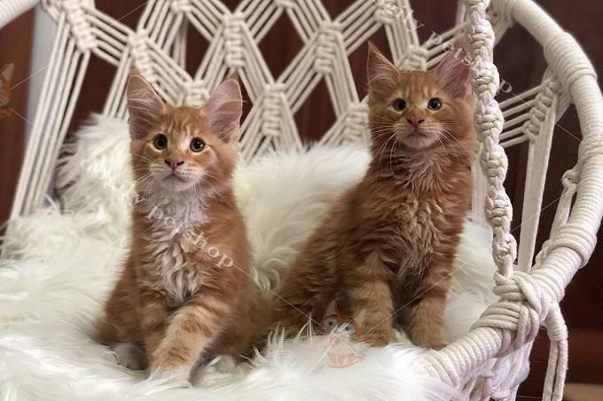 Đôi mèo Maine Coon con thuần chủng 2 tháng tuổi tại Dogily Petshop 91 Nghi Tàm, Yên Phụ, Tây Hồ, Hà Nội.