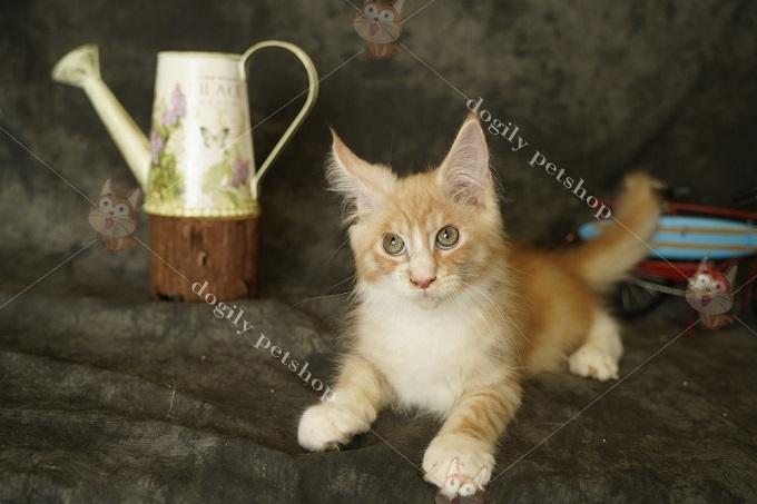Mèo Maine Coon Bicolor red 1,5 tháng tuổi tại Dogily Petshop 391 Cộng Hòa, phường 13, quận Tân Bình, Tphcm.