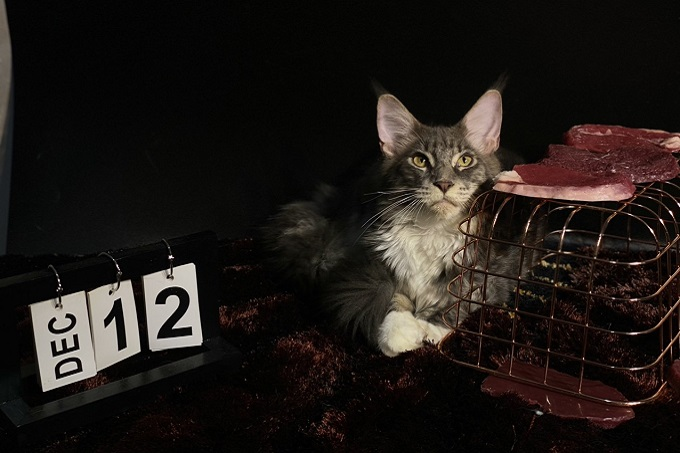 Mèo Mỹ lông dài màu silver ns11 4 tháng tuổi tại Dogily Petshop 171 Quang Trung, phường 10, quận Gò Vấp, Tp Hcm.