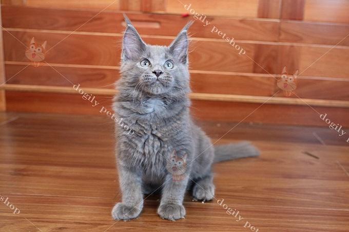 Mèo Mỹ lông dài màu xám xanh (blue) 2 tháng tuổi tại Dogily Petshop 606/121 đường 3 tháng 2, phường 14, quận 10, thành phố Hồ Chí Minh.
