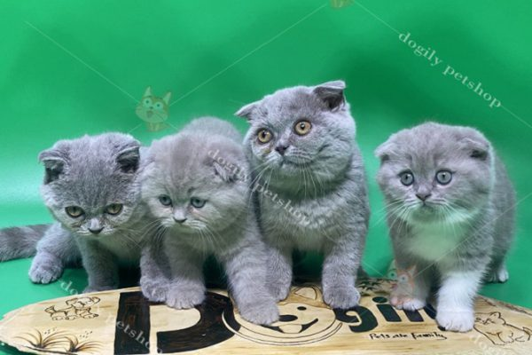 Mèo Anh lông ngắn nhỏ