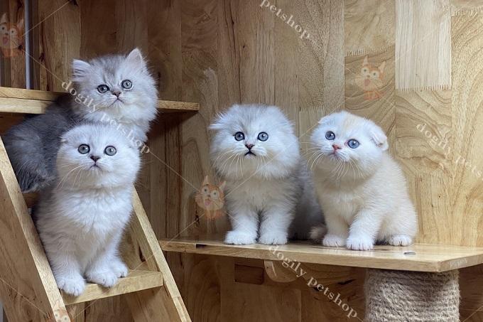 Mèo Scottish Fold con sinh tại hệ thống Dogily Petshop luôn đảm bảo độ thuần chủng.
