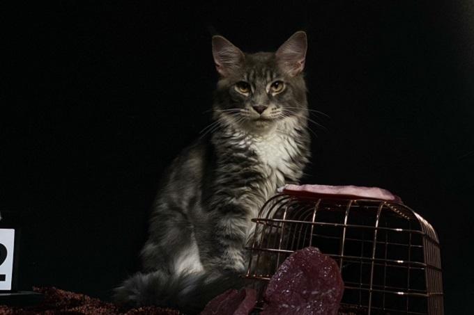 Vẻ đẹp ngoại hình huyền bí và oai phong như vua sư từ của mèo Maine Coon nhà Dogily.