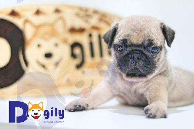 Ít người biết, chó Pug có nguồn gốc từ Trung Hoa.