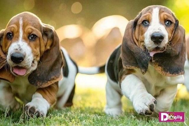 Giống chó này có nguồn gốc từ Vương quốc Anh và Pháp.