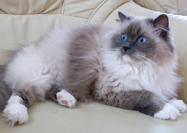 Nguồn gốc mèo Ragdoll
