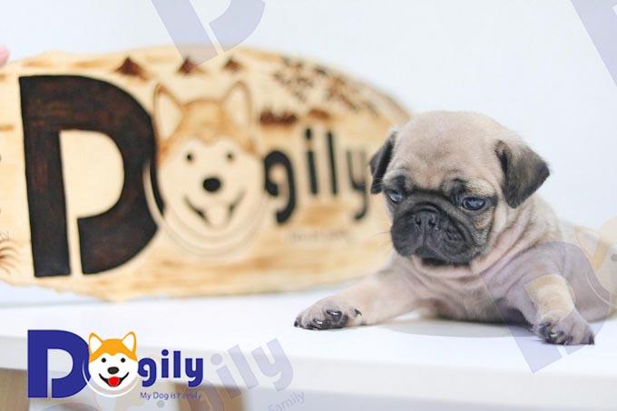 Pug dog con 2 tháng tuổi, tiêm phòng, tẩy giun đầy đủ nhà Dogily.