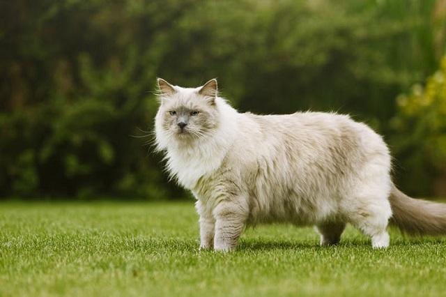 Ragdoll Cat nhập khẩu từ Châu Âu có giá thành đắt đỏ