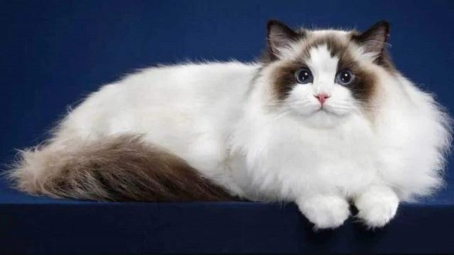 Ragdoll Cat với ngoại hình to lớn, bộ lông dày mềm mượt
