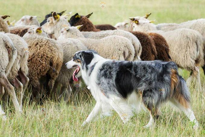 Ngày nay, dù được nuôi làm thú cưng, nhưng bản năng chăn cừu của giống chó này vẫn rất mạnh mẽ.
