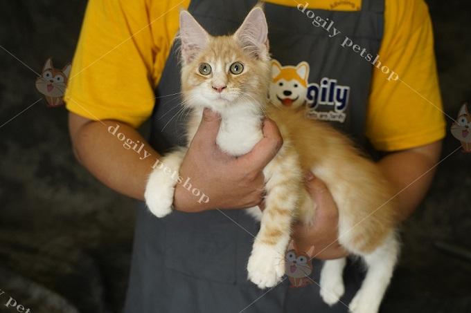Mặc dù có ngoại hình to lớn và dũng mạnh, nhưng mèo Maine Coon lại có tính tình rất hiền lành, thân thiện và quấn chủ.