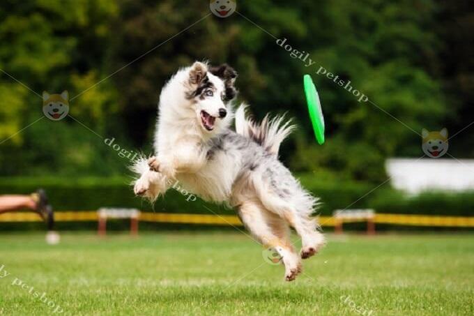 Hoặc các trò chơi vận động như huấn luyện chó Border Collie bắt đĩa bay.