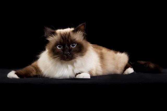 Tuổi thọ của mèo tùy thuộc vào nhiều yếu tố khác nhau