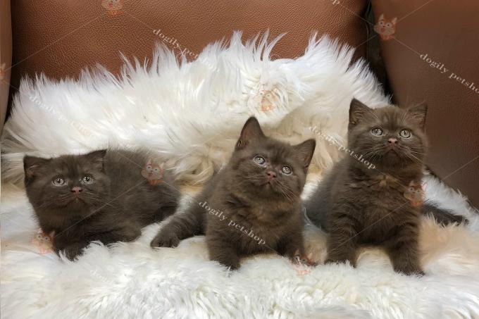 Đàn 3 bé mèo Anh lông ngắn Chocolate tai cụp & thẳng