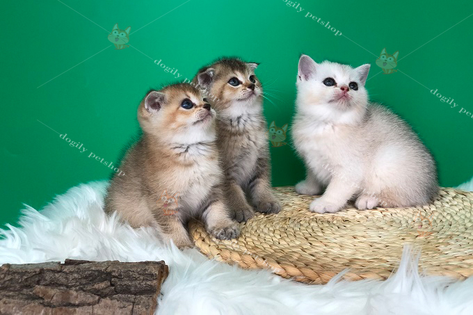 Đàn 3 mèo 2 golden, 1 silver