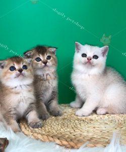 Đàn 3 mèo Scottish màu Golden, silver 2 tháng tuổi